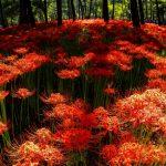 彼岸花の花言葉は色で違う?赤の場合は?黄の場合は?白の場合は?