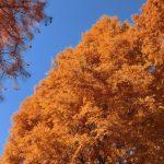 メタセコイア並木の紅葉の見頃は?紅葉情報はここで!近辺での観光は?